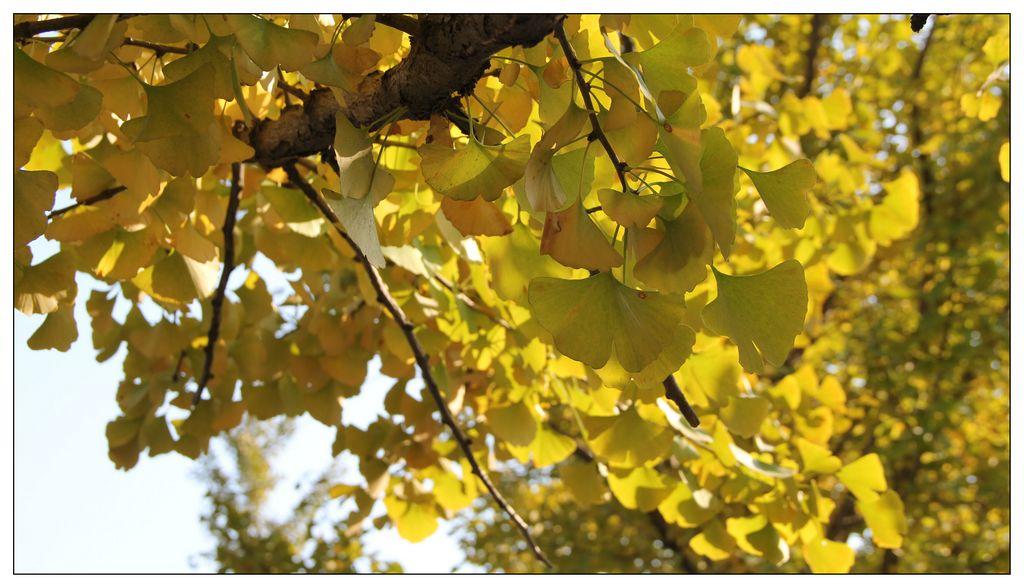 四川银杏树