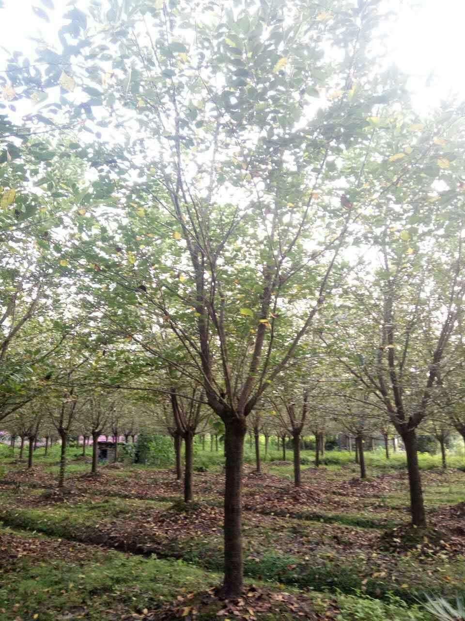 四川樱花树生产技术优势