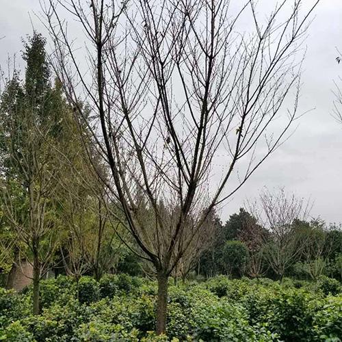 温江樱花树工程