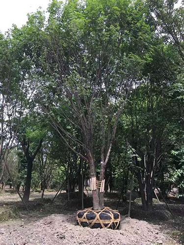成都茶条槭