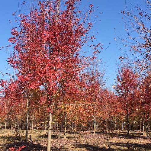四川美国红枫生产
