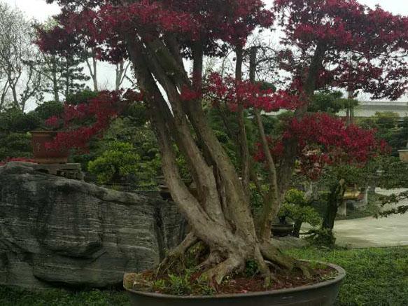 四川植物红继木桩头养护