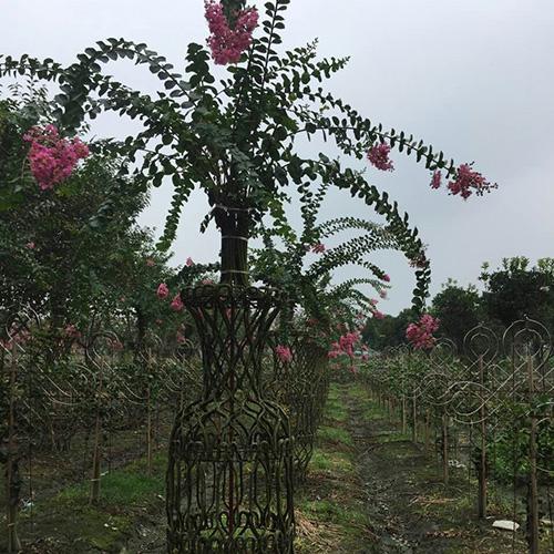 成都紫薇树养护工程