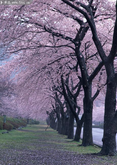 简述几种四川樱花树的品种及其特征