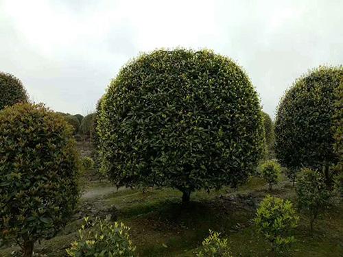 四川桂花树生产