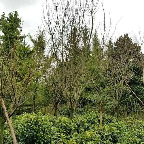 四川樱花树人工栽培过程有哪几步