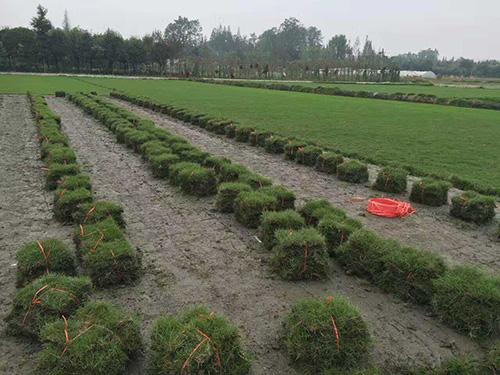 温江绿化苗木
