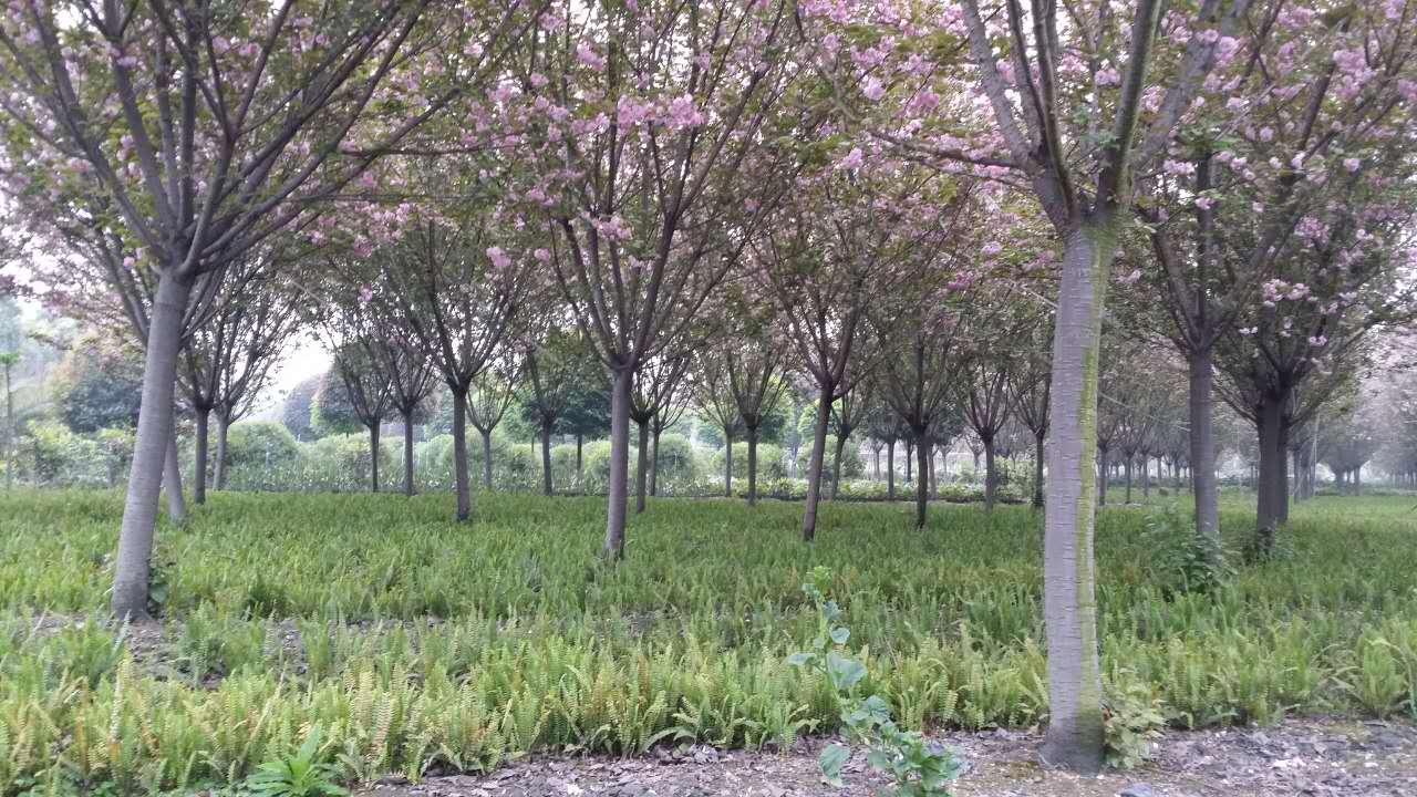 贵州晚樱树