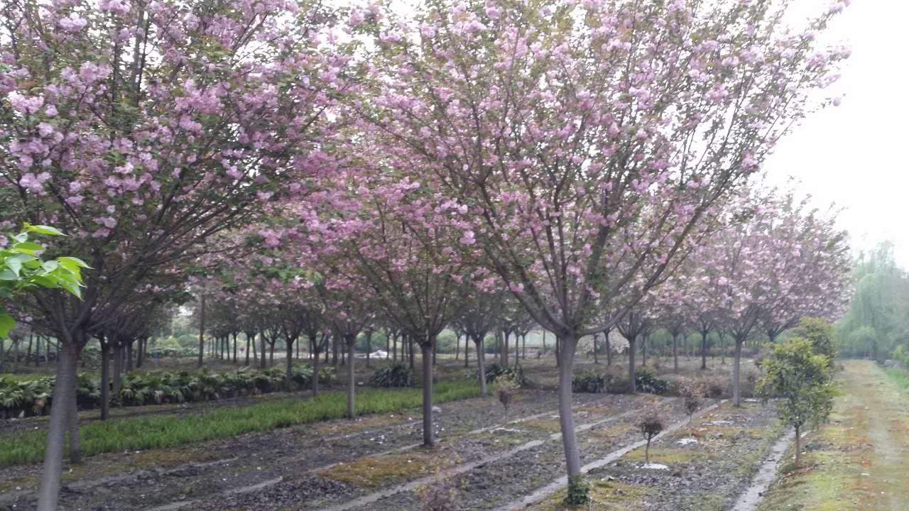 云南成都樱花树