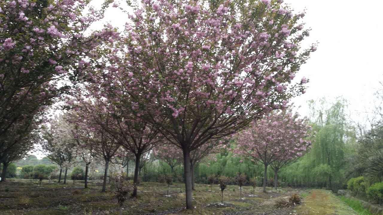 江苏温江早樱树