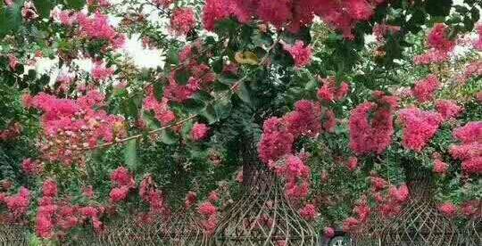 简述成都紫薇树木移栽的7大注意事项