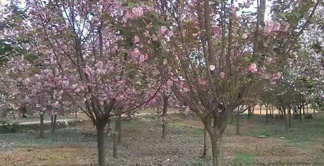 成都樱花树生产