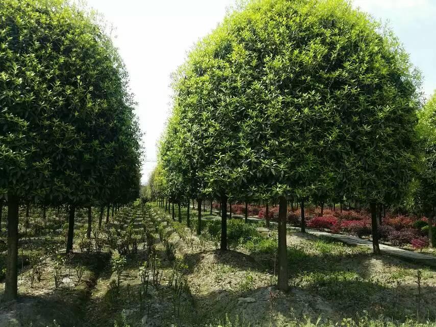 云南桂花树