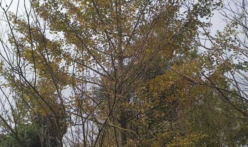 四川银杏树生产