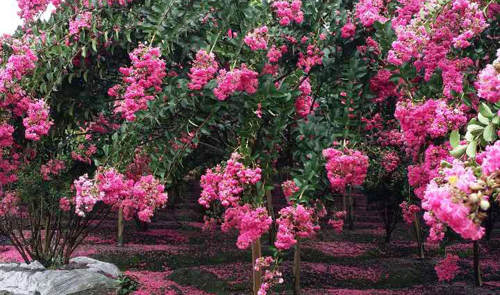 江苏成都紫薇树
