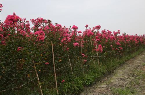 成都紫薇树的栽种方位都有哪些呢