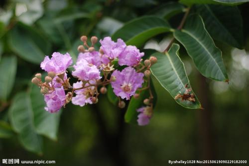 八种让成都紫薇花开的更加绚烂的方法你尝试过吗?