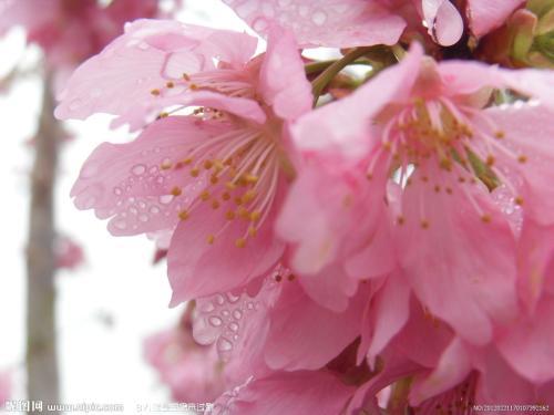 四川樱花树也会流汗你知道吗?