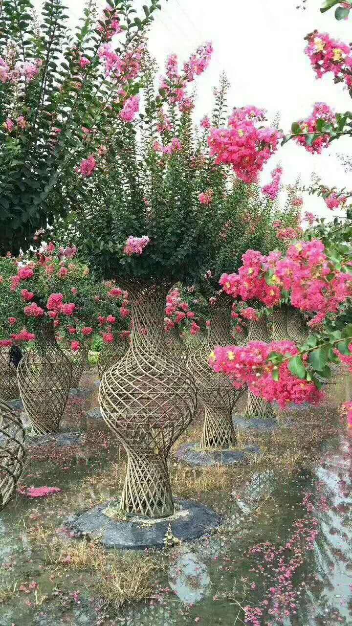 成都紫薇树生产基地