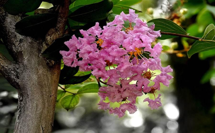 成都紫薇树