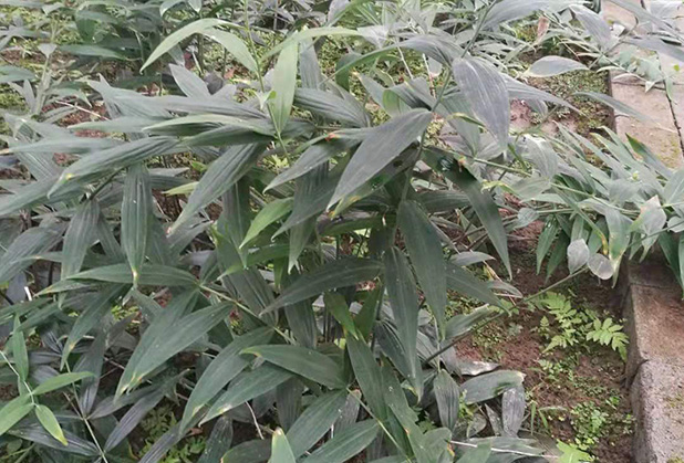 黄精种苗种植基地