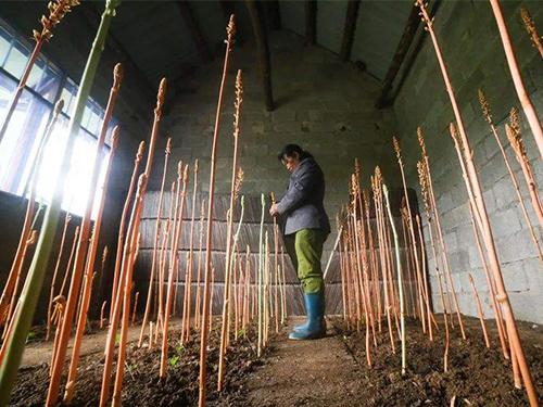 天麻种苗种植基地