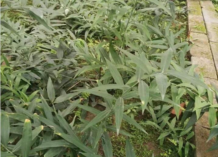 黄精种植种茎结节数应为多少出苗快?