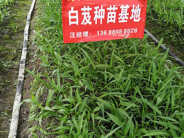白芨种苗种植基地