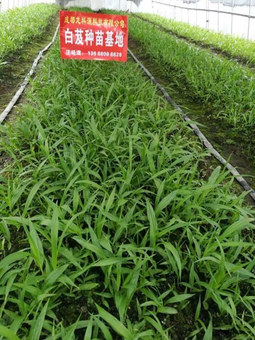 冬季种植成都白芨种子的管理技术!