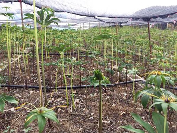 重楼种子栽培基地