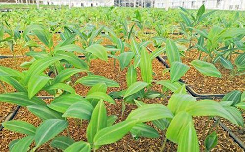 黄精种苗基地