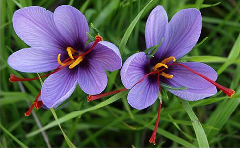 藏红花使用的是雌蕊柱头部分