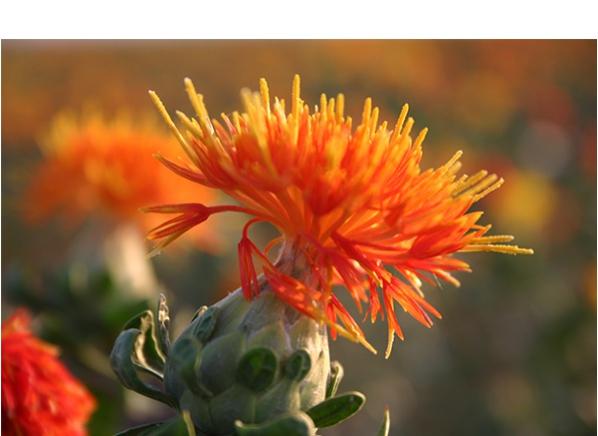 红花使用的是管状小花