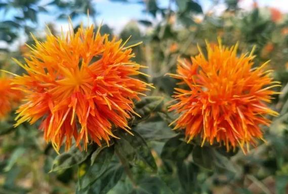 藏红花的6种使用方法,教你正确使用藏红花!