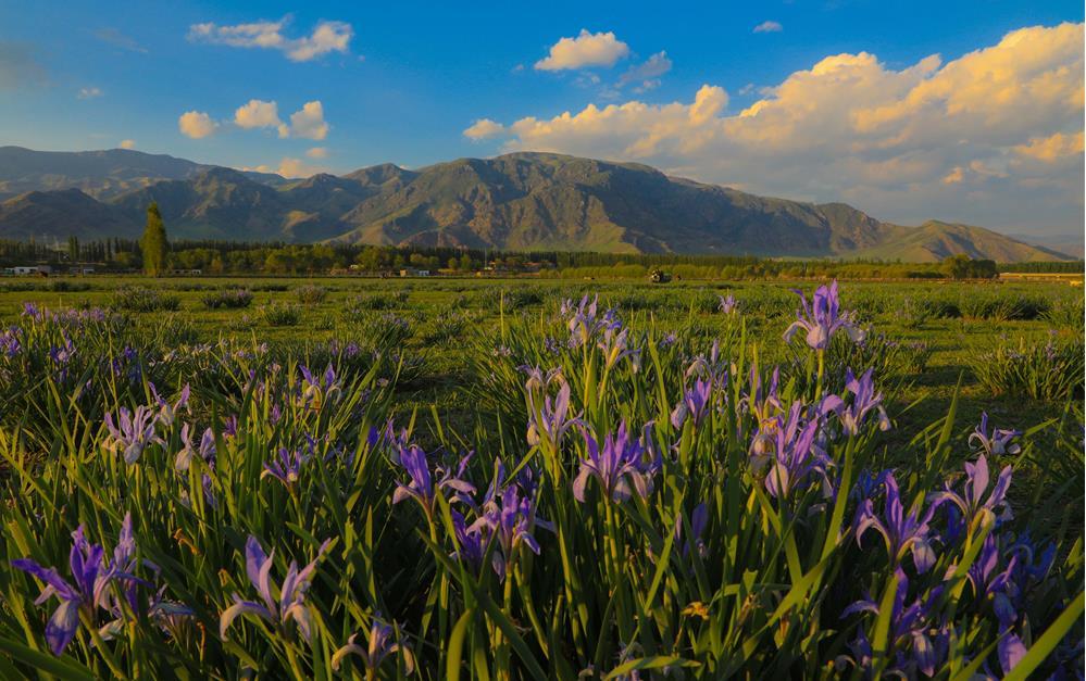 新源县:马兰花装点草原的静美