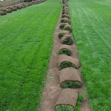 河南早熟禾草坪