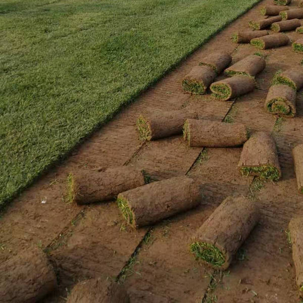 高羊茅早熟禾混播草坪