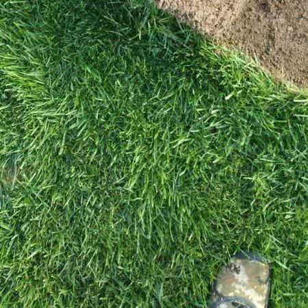 开封高羊茅草坪施工