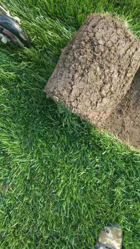 高羊茅草坪种植