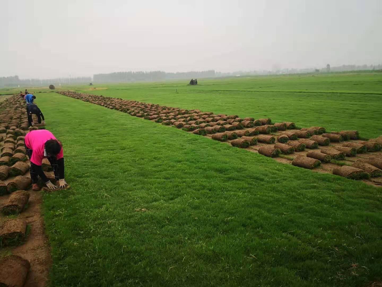 河南果岭草草坪种植