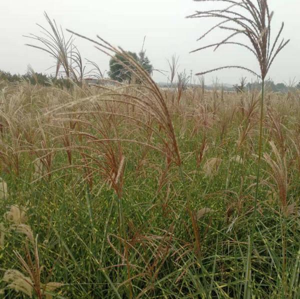 河南观赏草