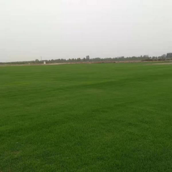 河南果岭草草坪