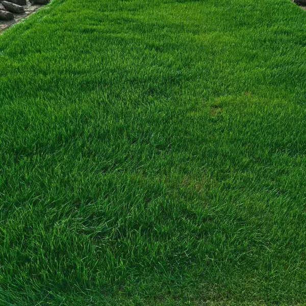 黑麦草草坪