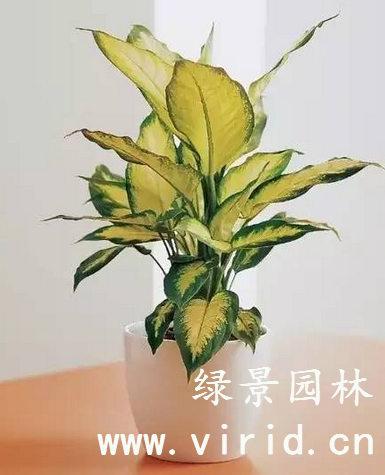 花叶万年青