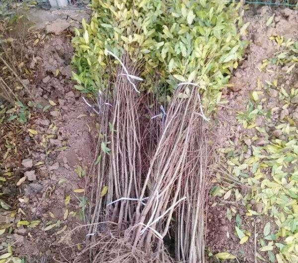 突尼斯软籽石榴苗