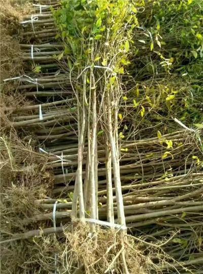 软籽石榴一年树苗