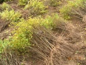 软籽石榴苗销售