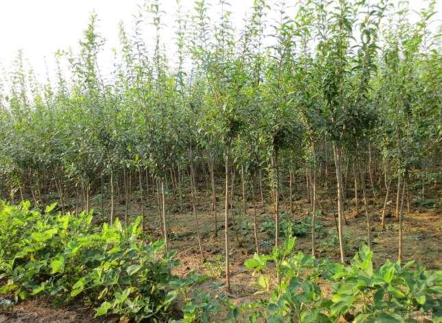 软籽石榴树苗价格