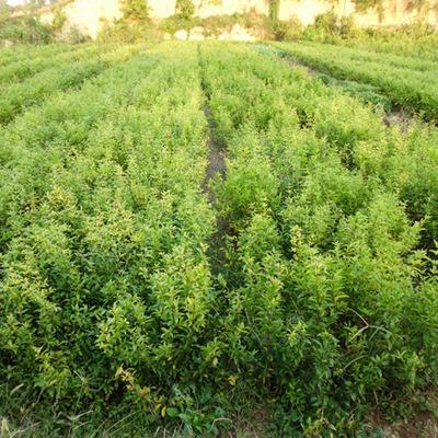 荥阳软籽石榴树苗销售