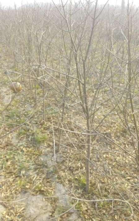 软籽石榴苗